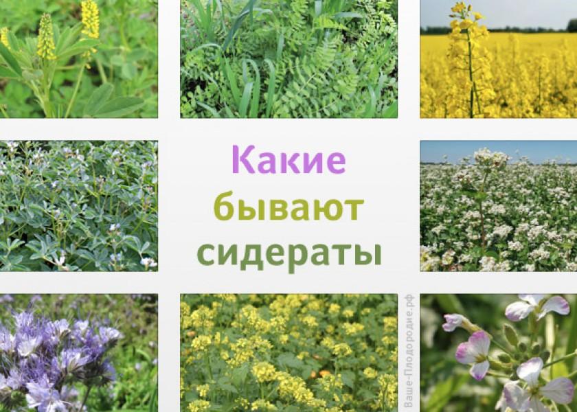 Садити білу гірчицю можна весь городній сезон